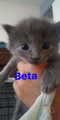 Beta kitten