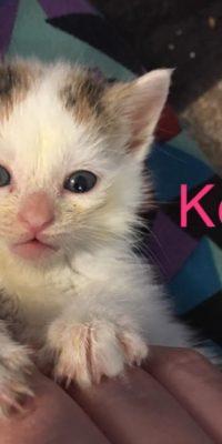 Koi Kitten