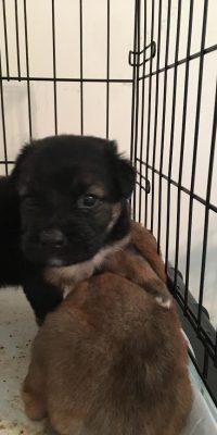 Tillie puppy