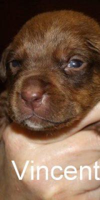 Vincent pup