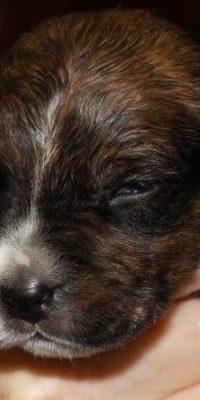 Virgil pup