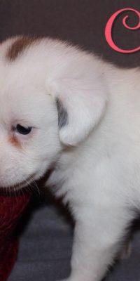 chiffon pup