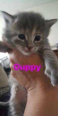 guppy kitten