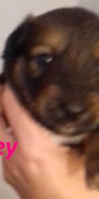 honey pup