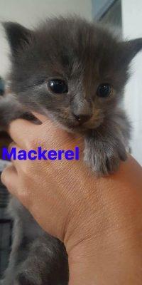 mackerel kitten