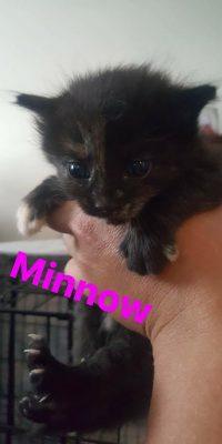 minnow kitten