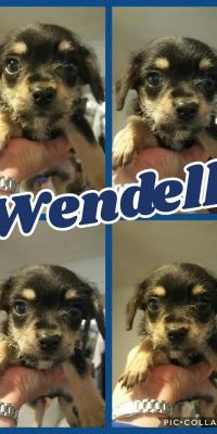 puppy Wendell