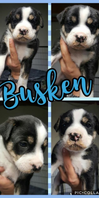 puppy buskeb