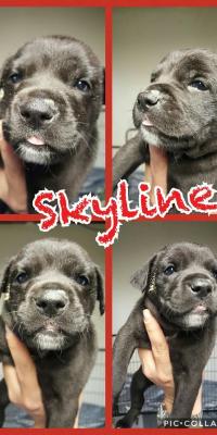 puppy skyline
