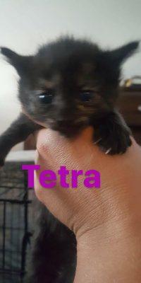 tetra kitten