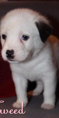 tweed pup